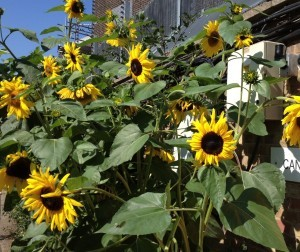 Sunflowers alongside Regent's Canal