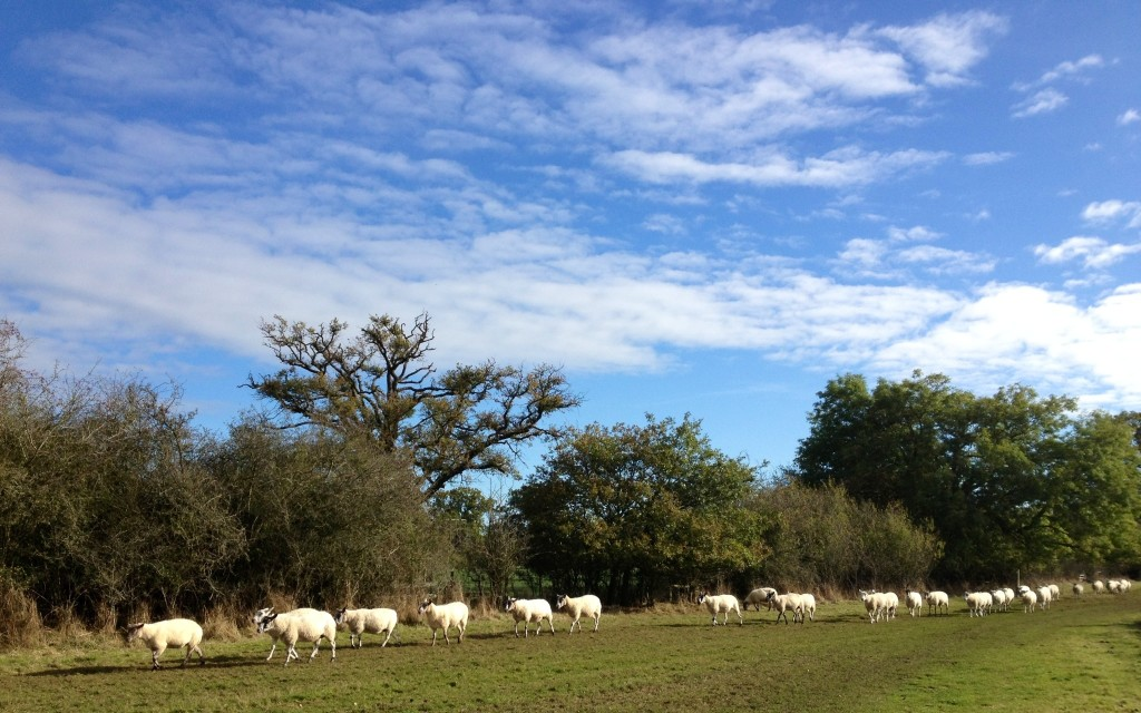 Sheep walking the Monarch's Way?