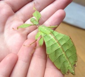 Leaf insect, bug handling