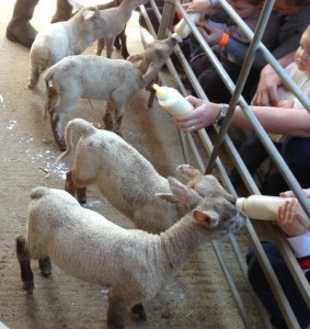 Feeding the lambs at Bucklebury Farm Park