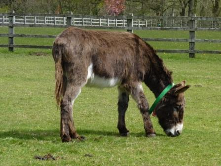 Teddy, our sponsor donkey