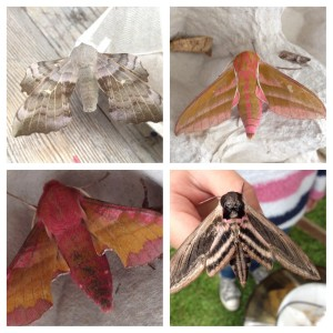 From top left (clockwise): Poplar hawk moth, small hawk moth, privet hawk moth, elephant hawk moth