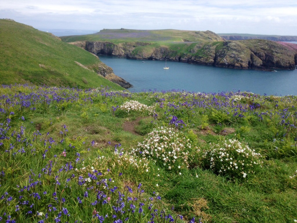 Bluebells and sea campion, Skomer