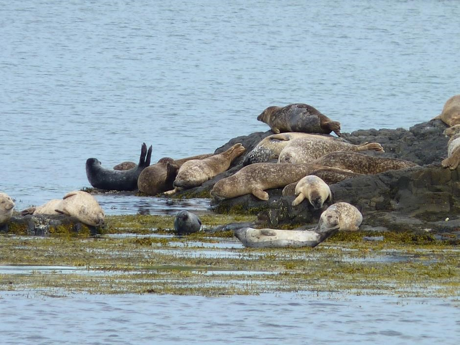 Seals, Isle of Eigg