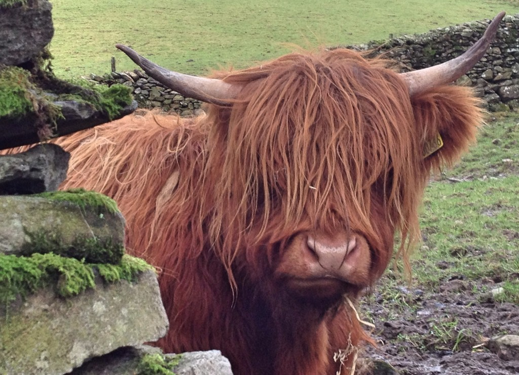 Highland cow, near Ambleside