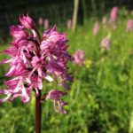 Lady x Monkey orchid, Hartslock Nature Reserve