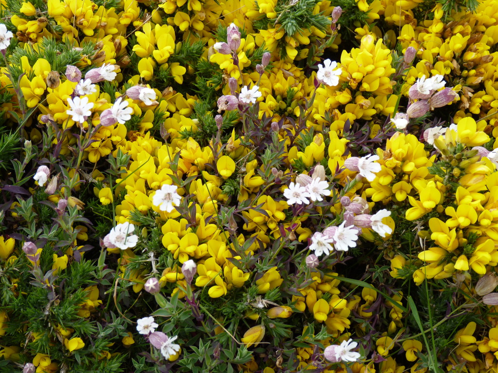 Gorse and sea campion, Guernsey