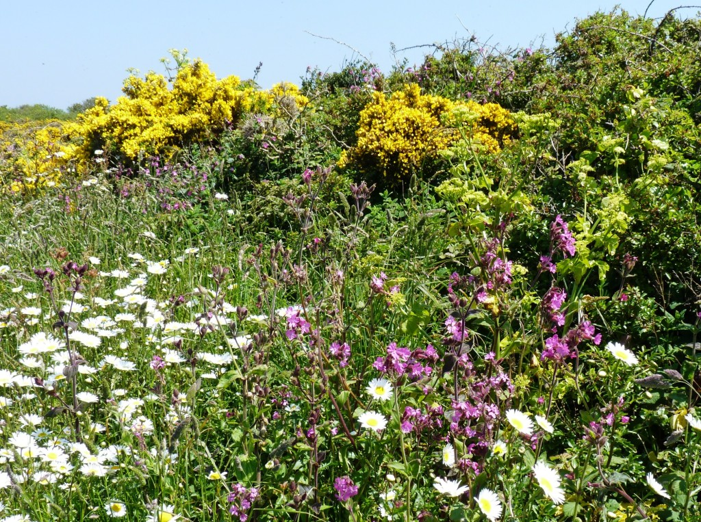 Flowers along the southern coasts of Guernsey