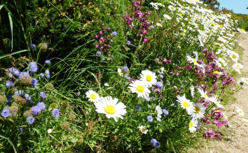 Ox-eye daisies and sheep's bit scabious along the cliff path, Guernsey