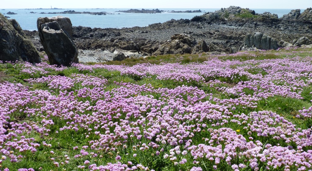 Sea thrift, Guernsey