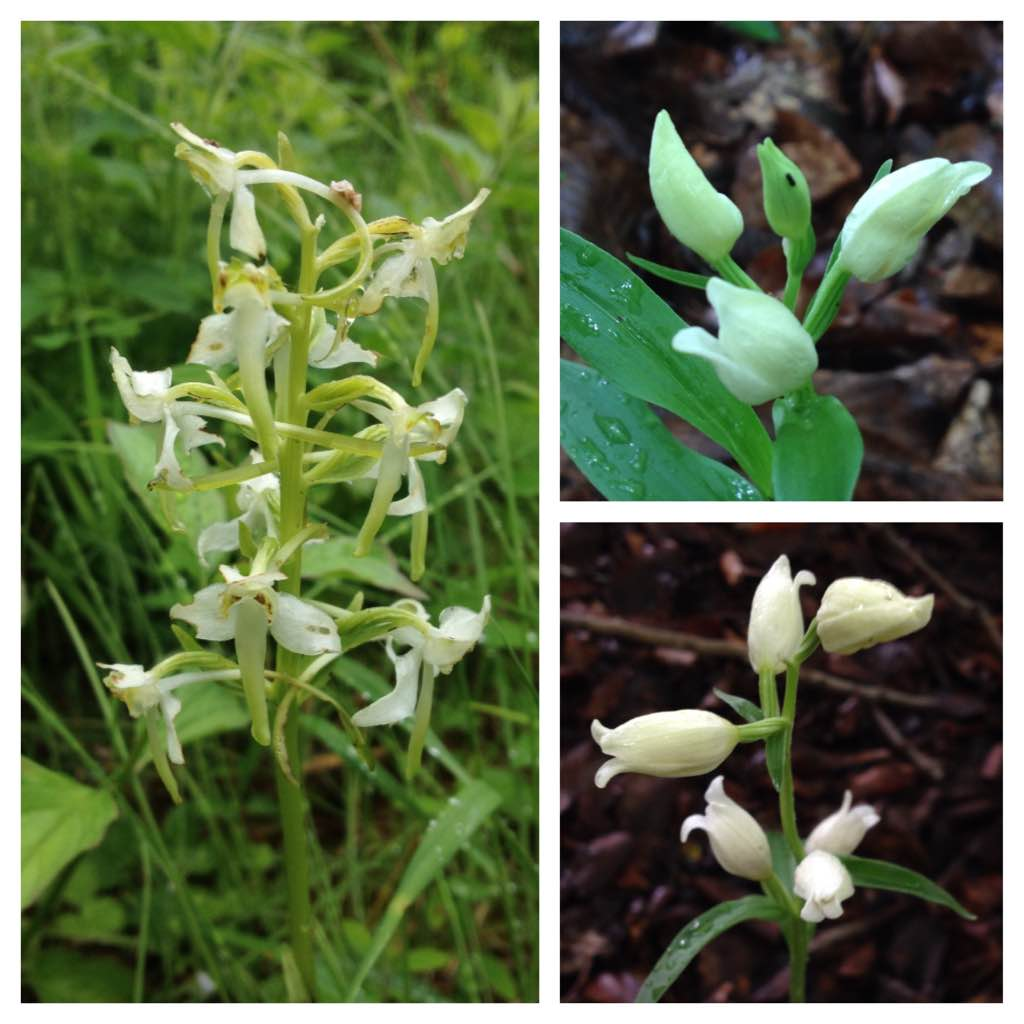 Great butterfly orchid (left) and white helleborine (right), Warburg nature reserve
