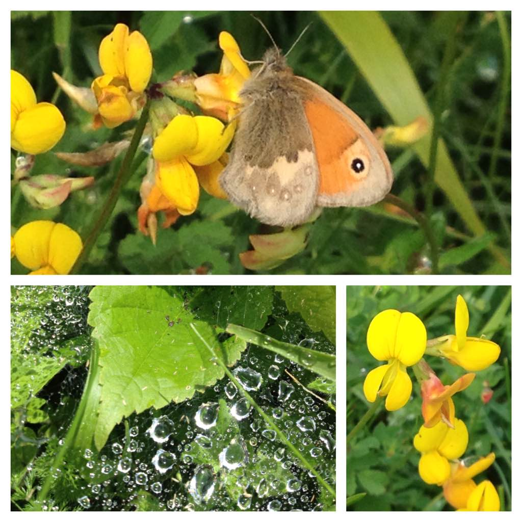 Meadow brown butterfly on bird's foot trefoil, Warburg nature reserve