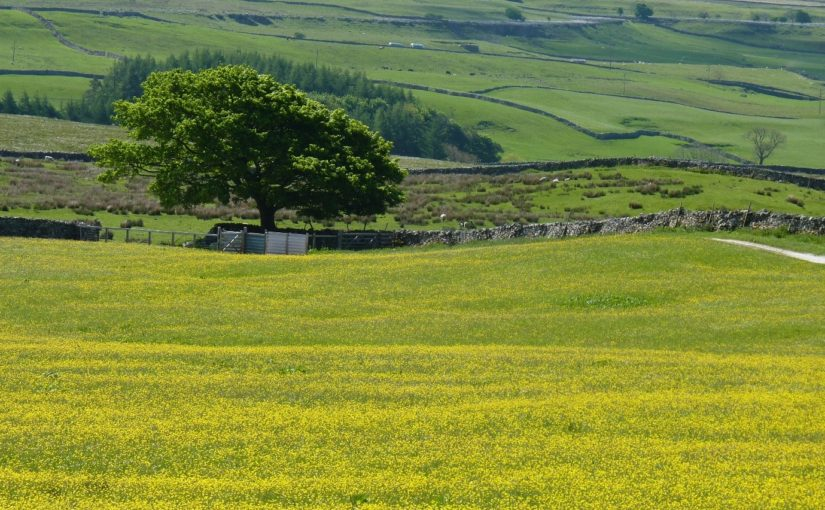 wildflower meadow near Whernside