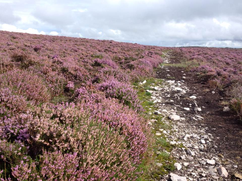 Heather path up to Wills Neck, Quantock Hills