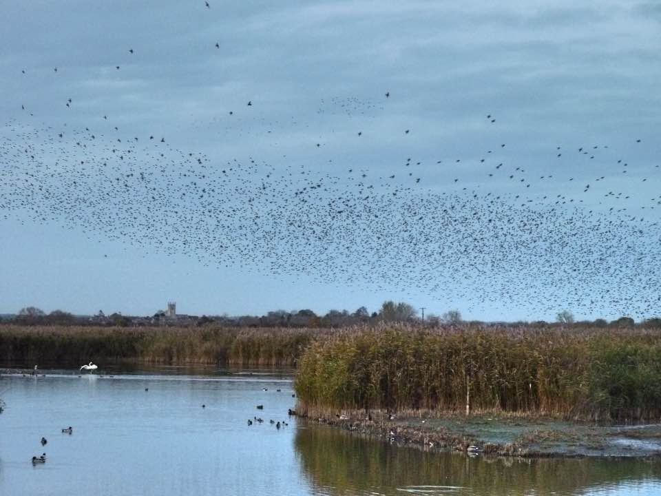 Starling murmuration at RSPB Otmoor