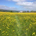Buttercup meadow near Hawes