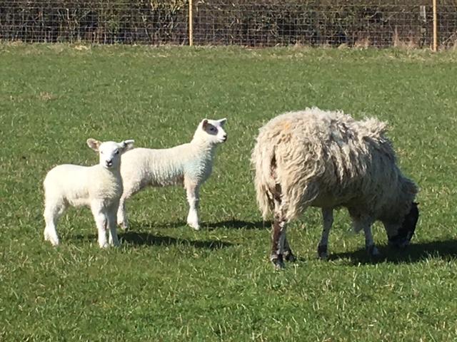 Lambs near Aston Rowant reserve