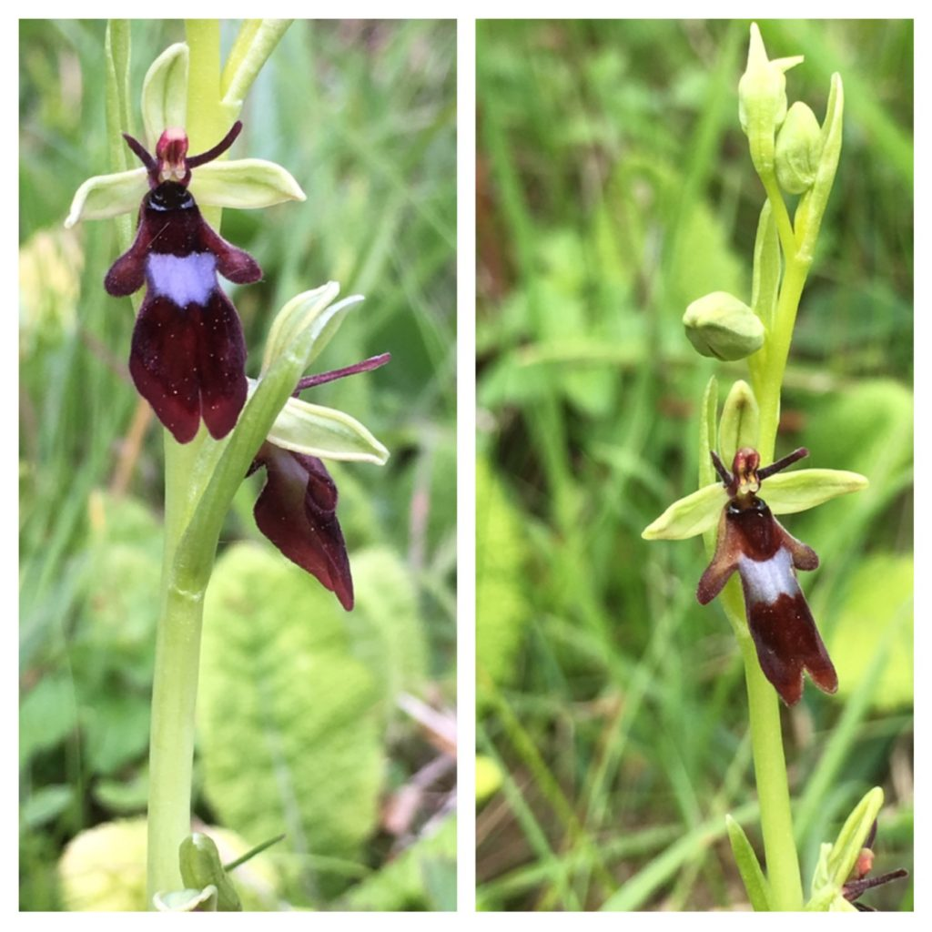 Fly orchid, Homefield Wood