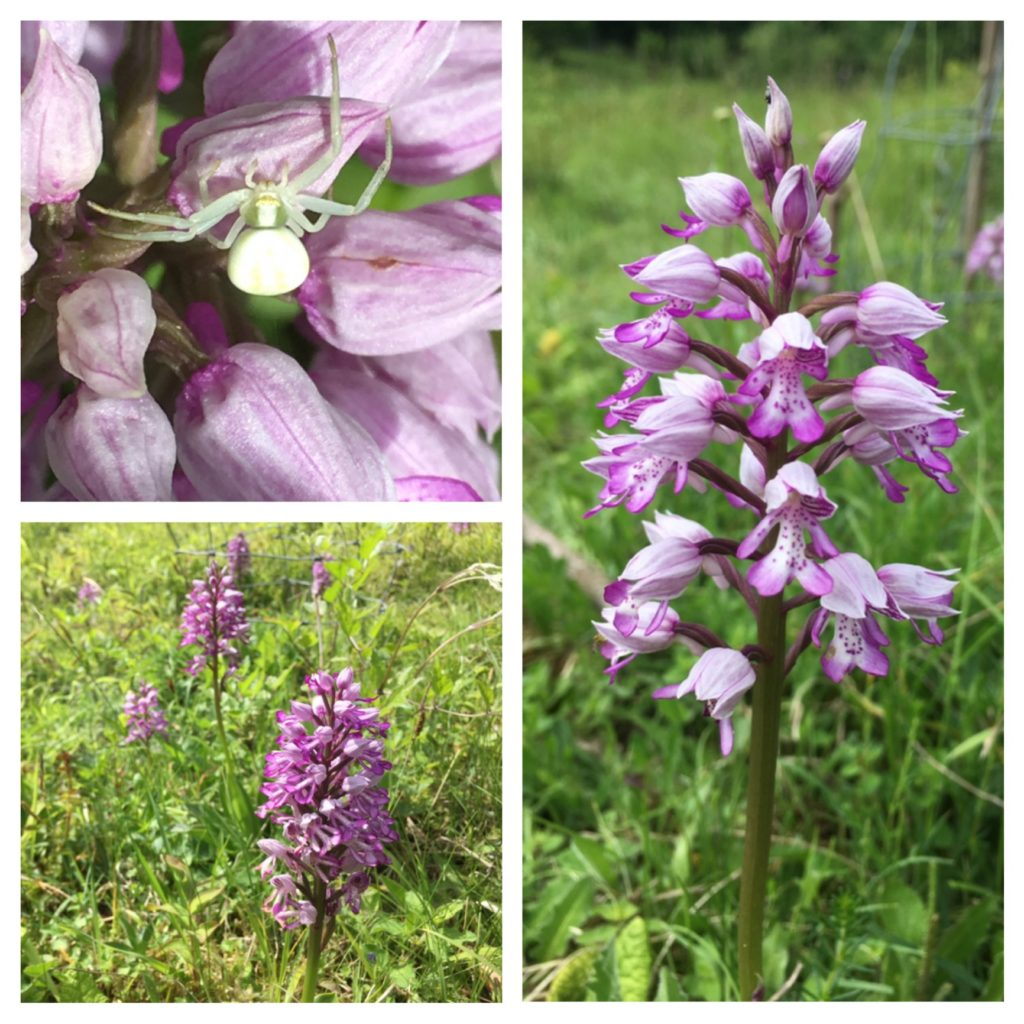 Military orchids, Homefield Wood