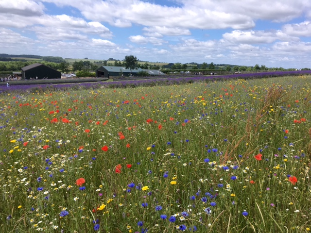 Wildflower Meadow, Cotswold Lavender