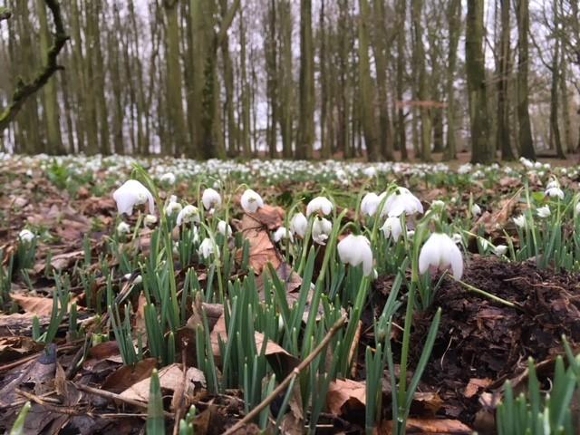 Snowdrops at Badbury Hill, Oxfordshire