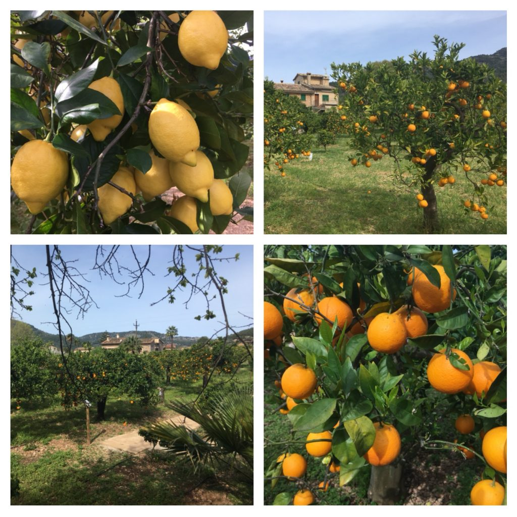 Oranges and lemons at Ecovinyassa