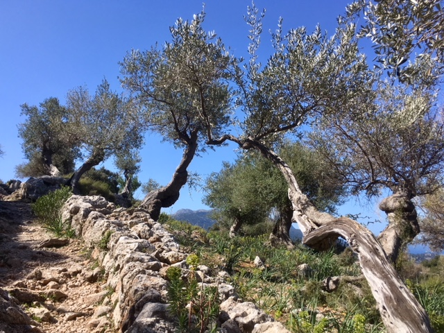 Olive trees on the GR221