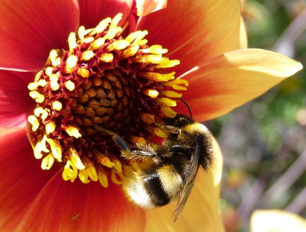 Bee on dahlia at Oxford Botanic Garden