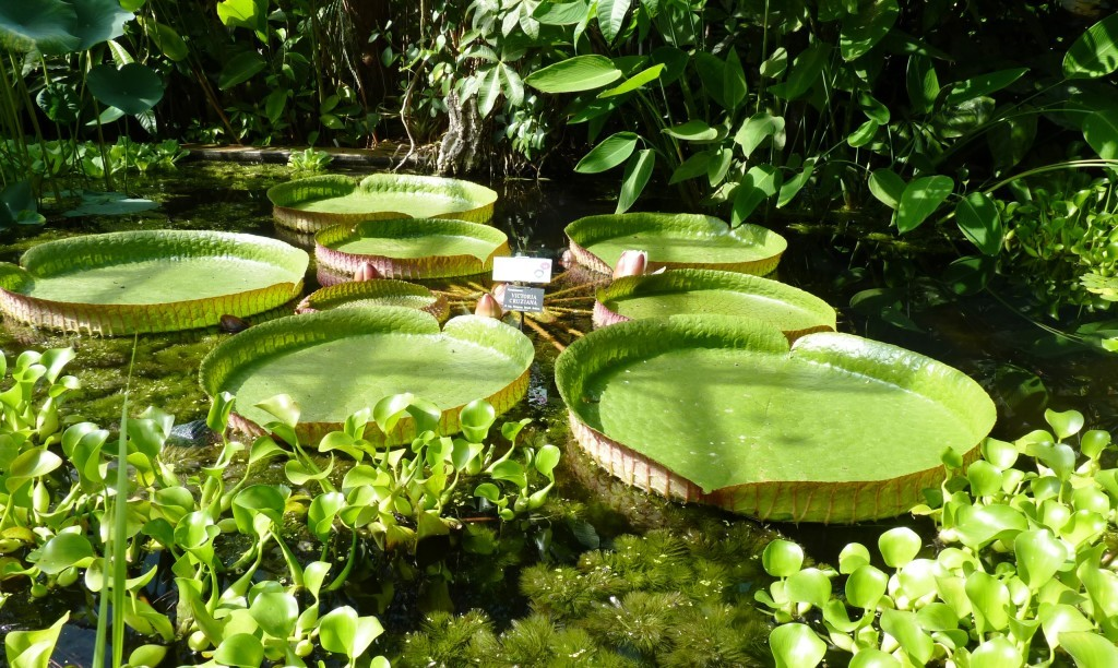Lily pads at Oxford Botanic Gardens
