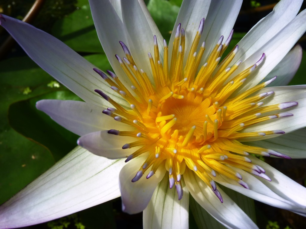 Water lily at Oxford Botanic Gardens