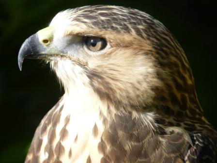 Hawk at Cotswold Falconry Centre