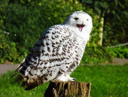 Snowy owl at Cotswold Falconry Centre