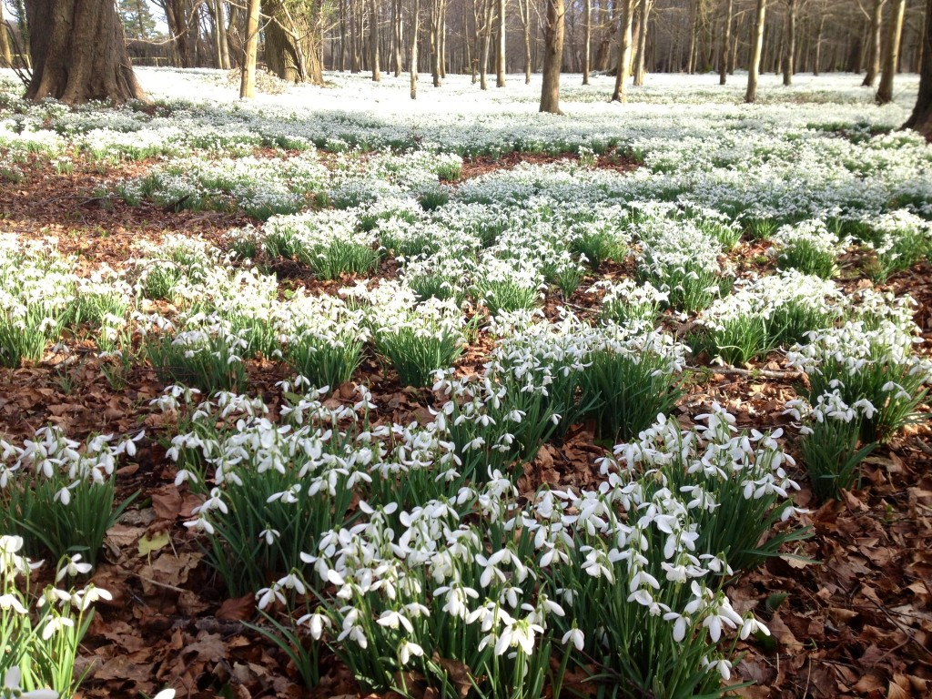 Carpets of snowdrops at Welford Park