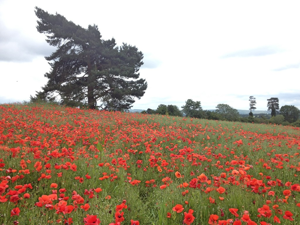 Poppies seen from Faringdon Folly