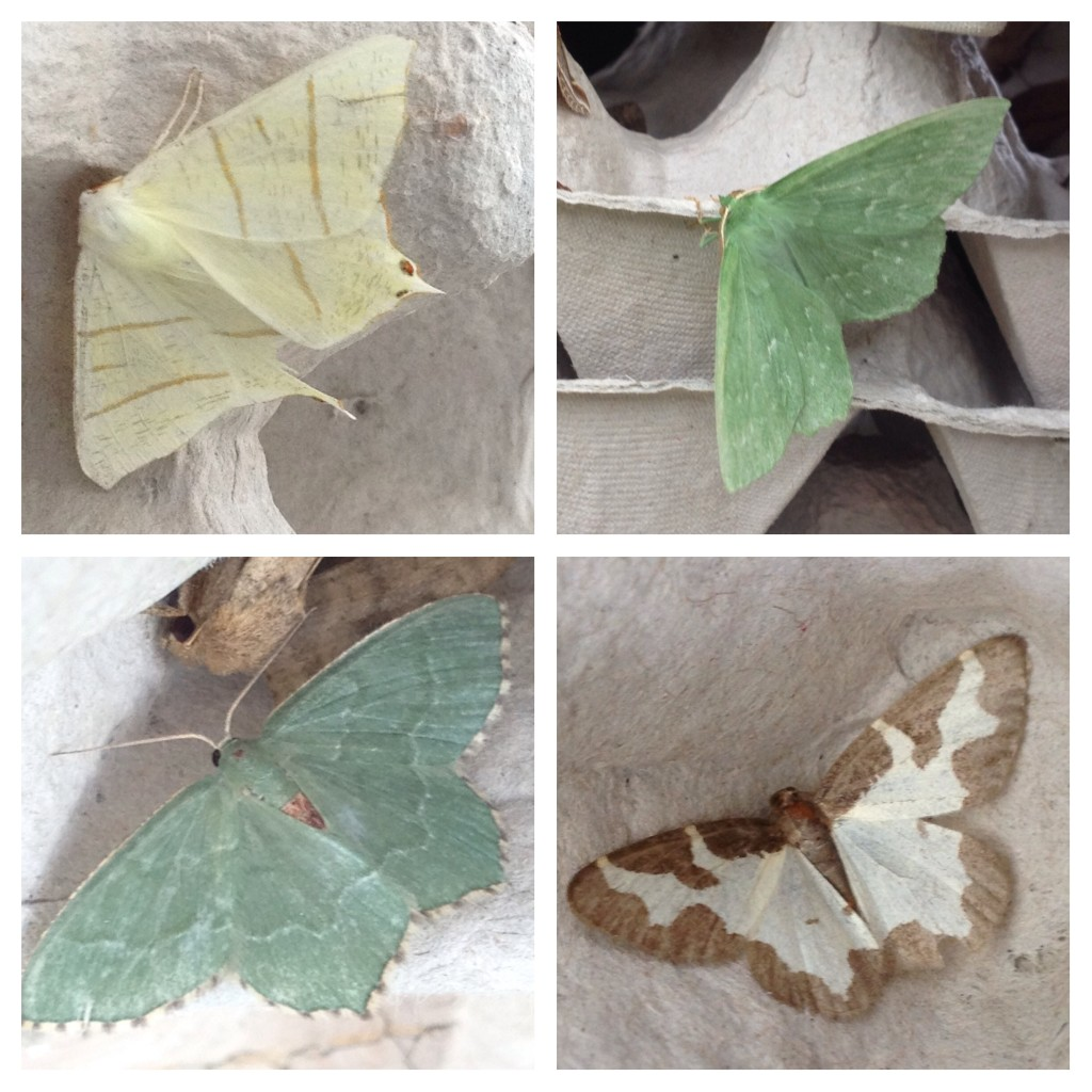 From top left (clockwise): swallowtail moth, large emerald, clouded border, common emerald
