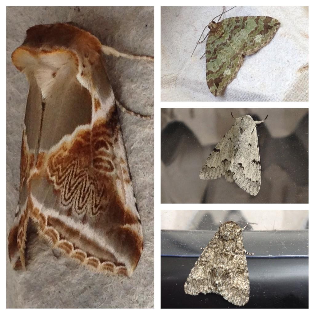 Moths of Neptune Wood