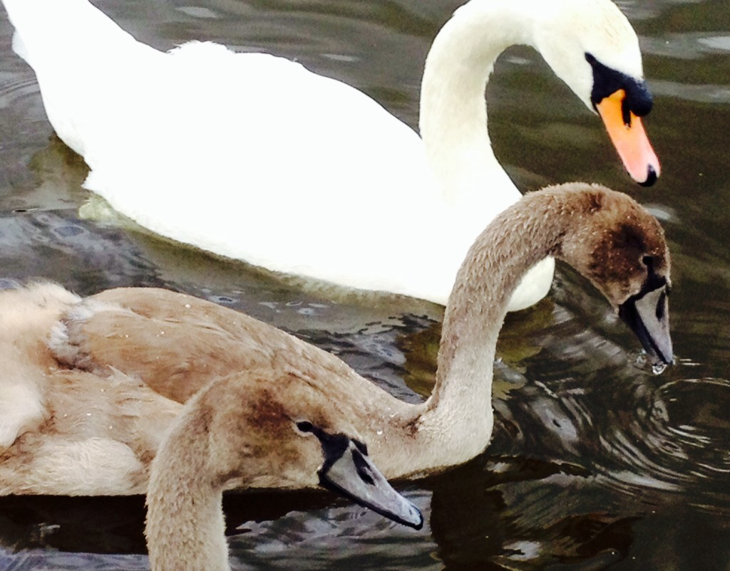 Swan and cygnets at California Country Park