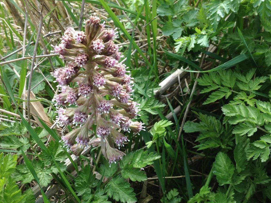 Butterbur - not a rare orchid!