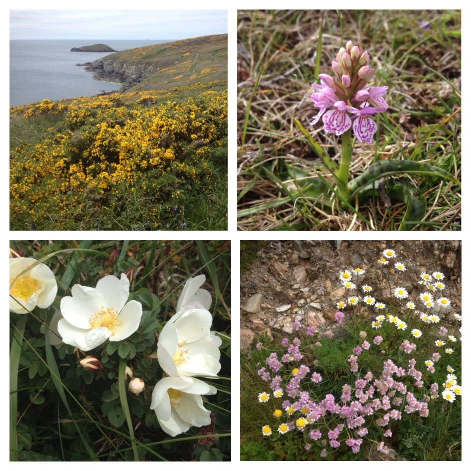 Flowers of the Pembrokeshire coast