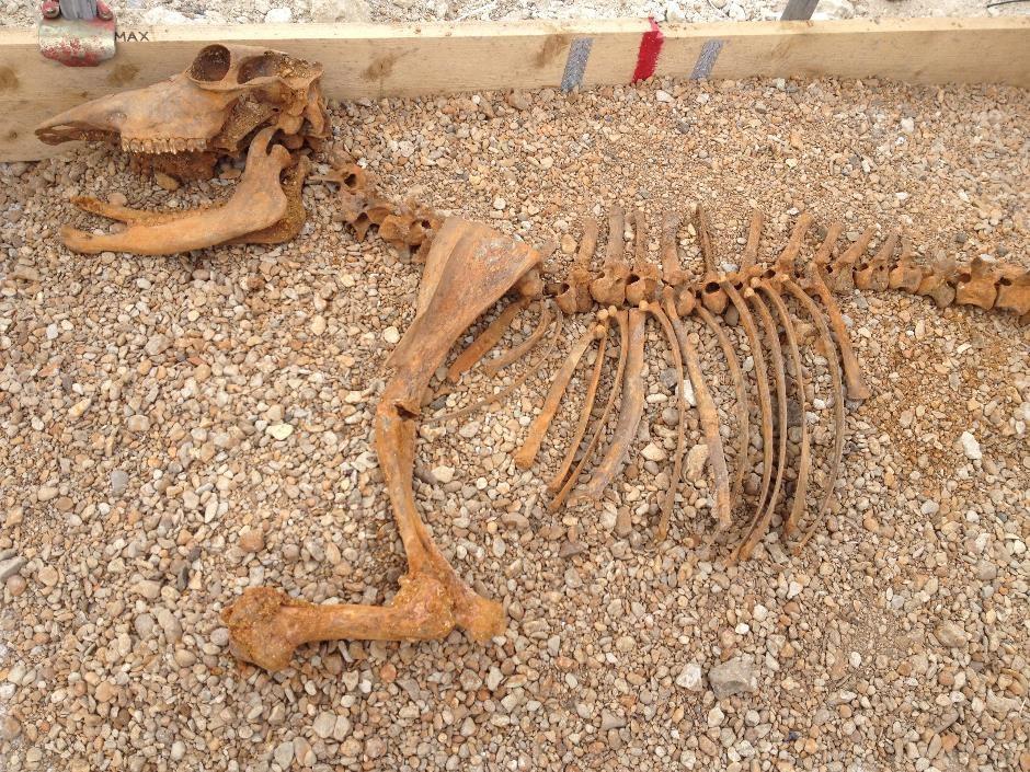 Oxen found on Westgate dig, Oxford