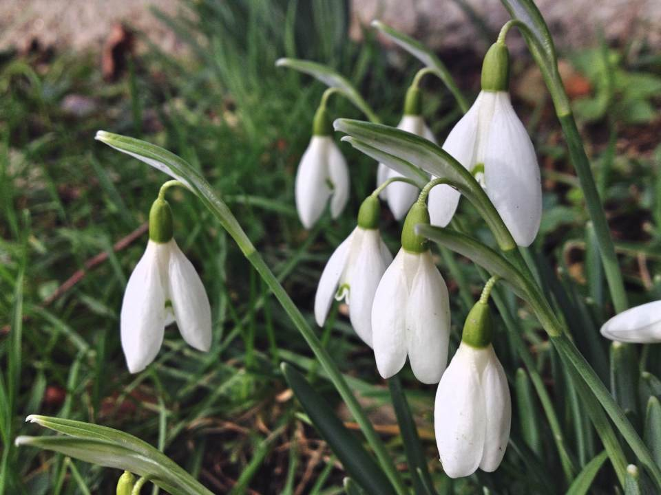 Snowdrops at Swyncombe Church