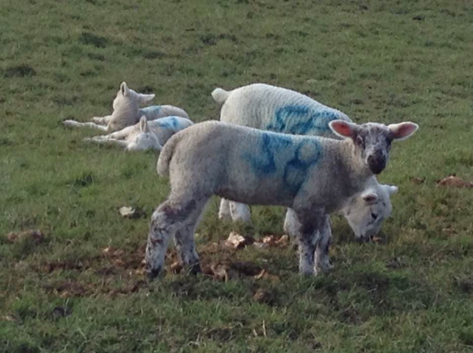 Spring lambs, Winchcombe