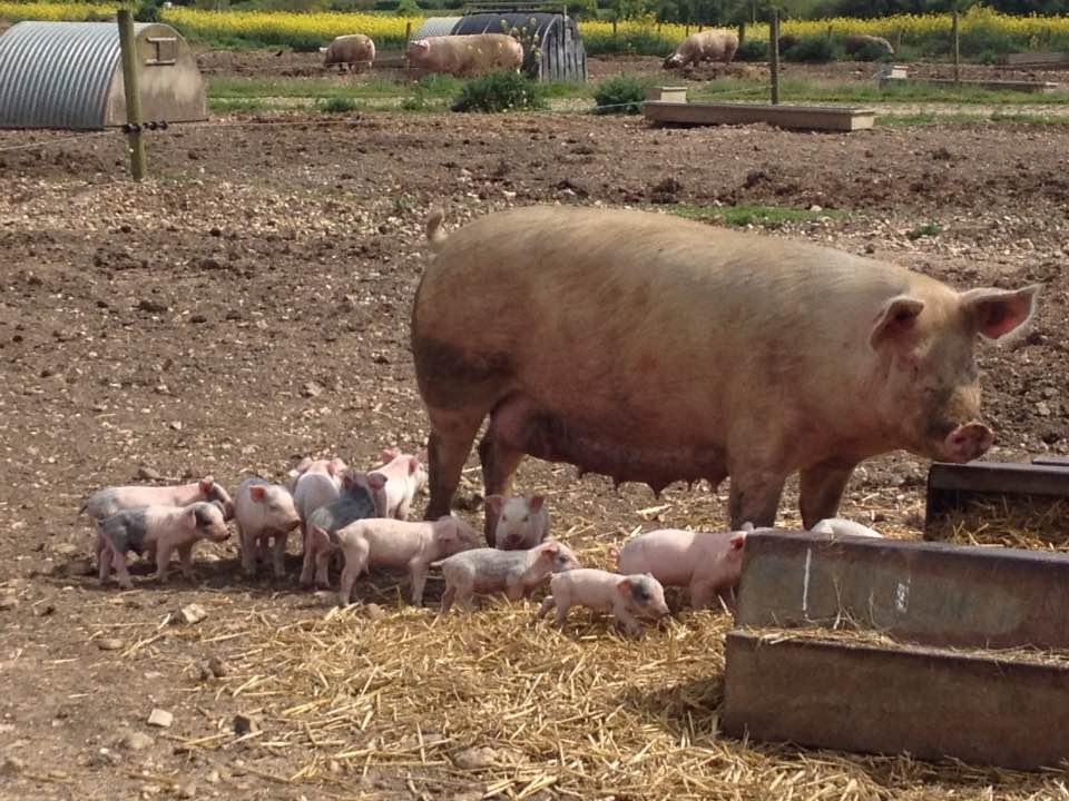 Piglets near Boxford