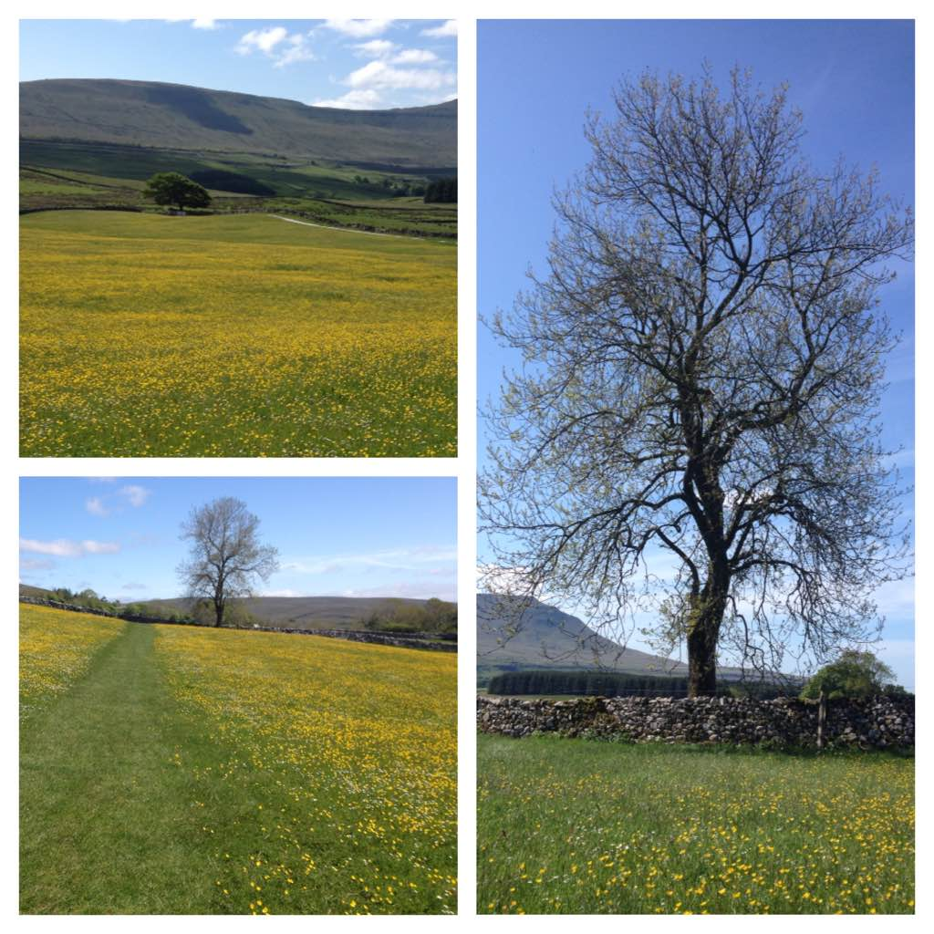 Buttercup meadows near Whernside