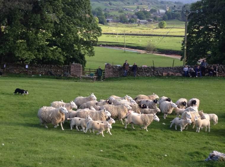 Sheepdog demonstration, near Hawes