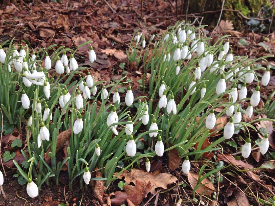 Snowdrops in Church Copse, Kingston Bagpuize house