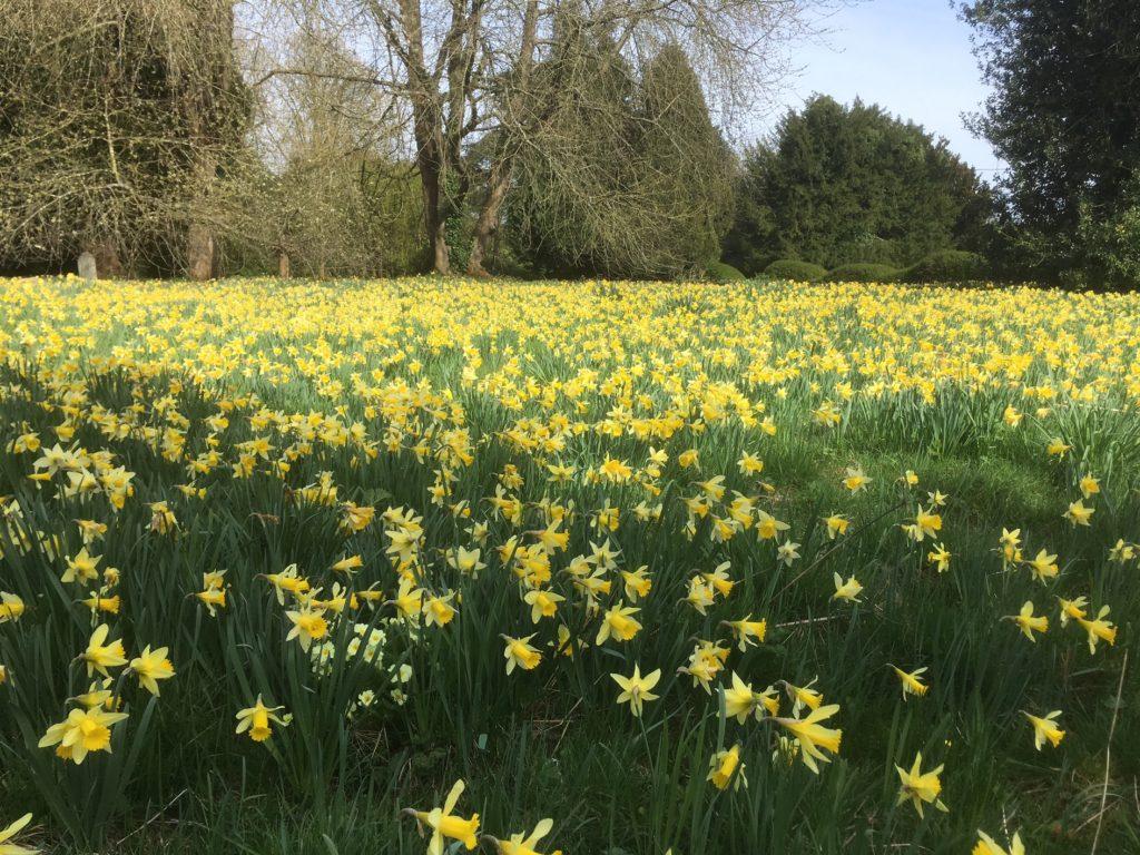 Daffodils at St Mary's Church, Pyrton