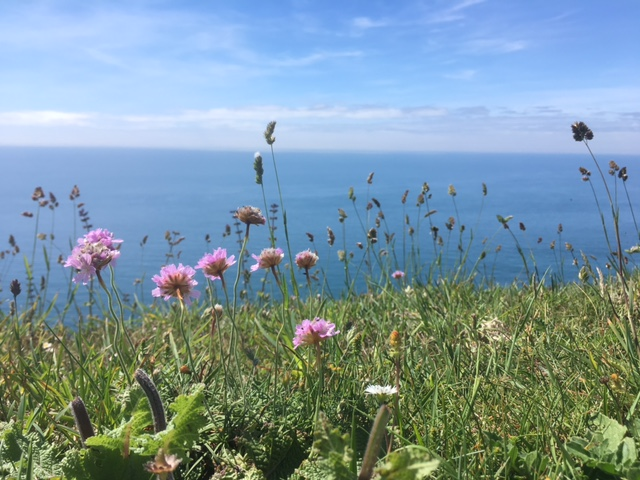 Cliff top flowers, near Worbarrow Bay, Dorset