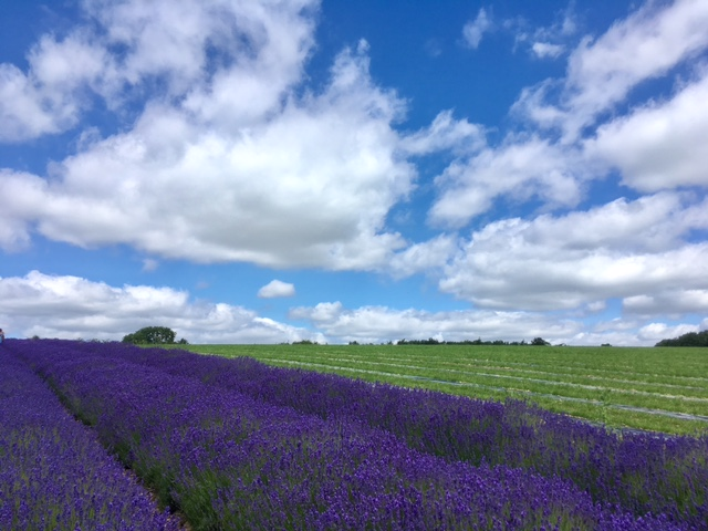 Cotswold Lavender, near Snowshill