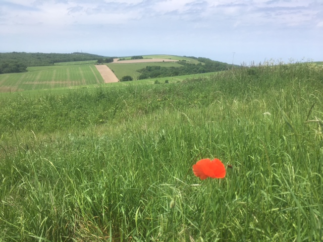 Single poppy on the South Downs Way, near Amberley